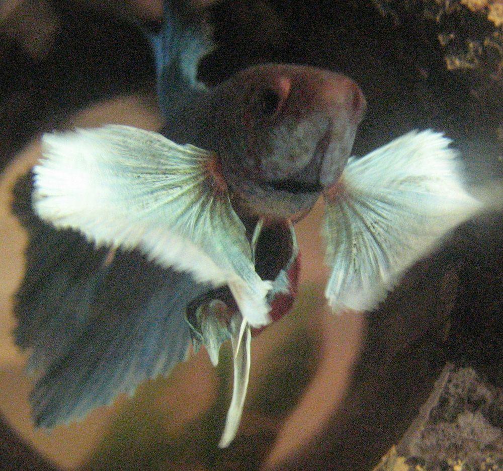 My elephant ear betta sky betta fish pinterest for Elephant ear betta fish