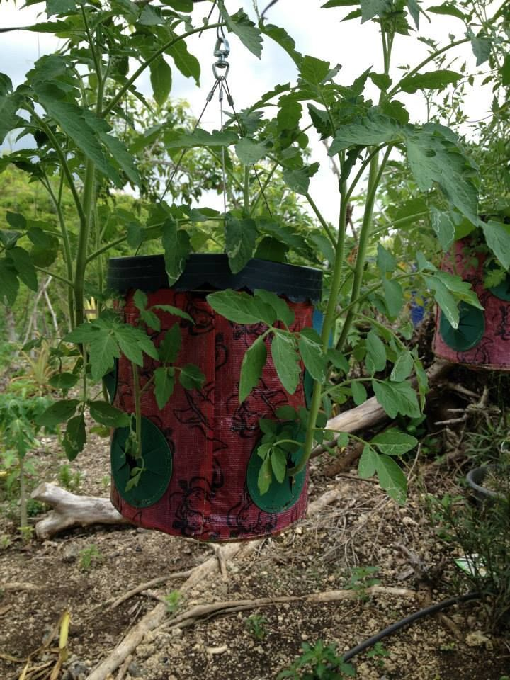 Topsyturvy tomato plants new arapal hanging vegetable for New garden plants
