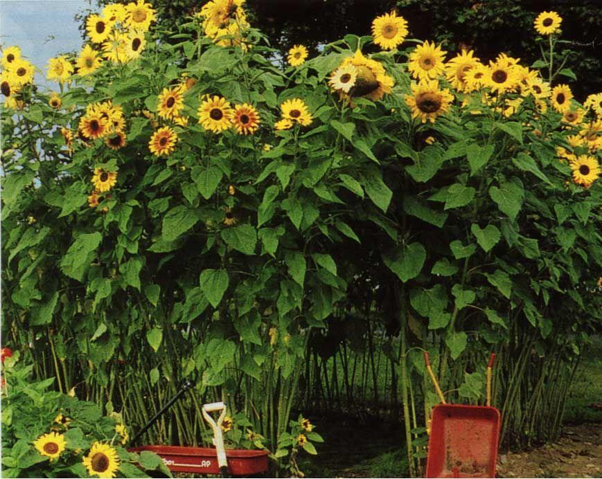 Sunflower fort! =D | Garden =) | Pinterest