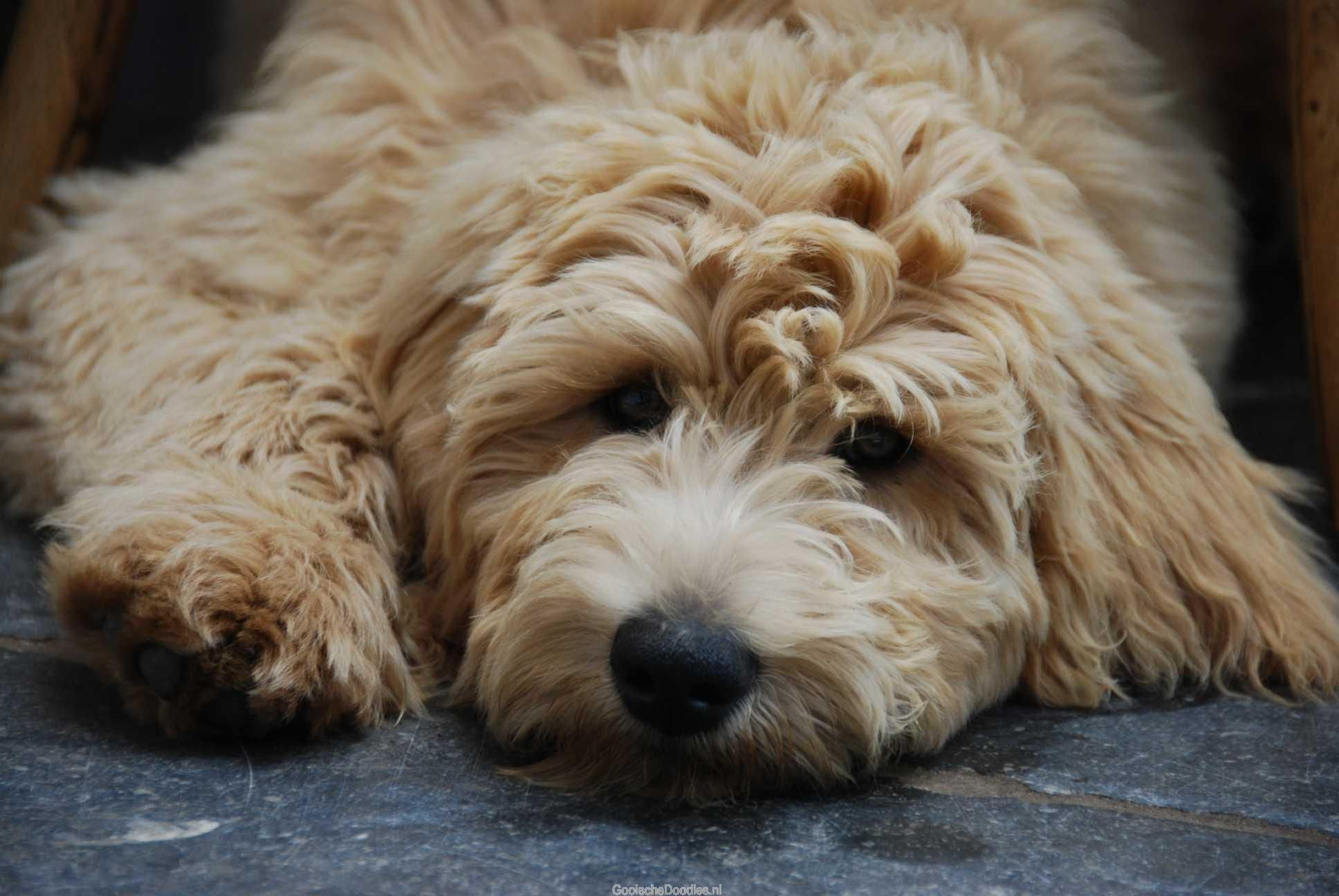 labradoodle #dogs #cute | This and That | Pinterest