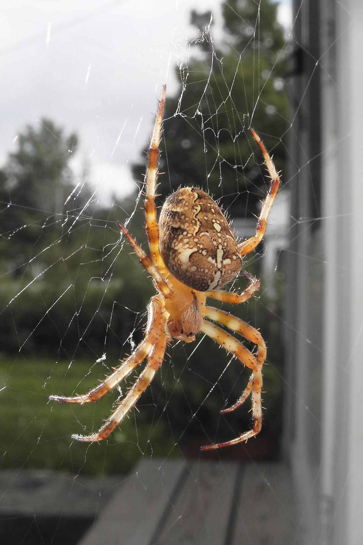 Garden Orb Weaving Spiders SPIDER CHART Venomous or Dangerous