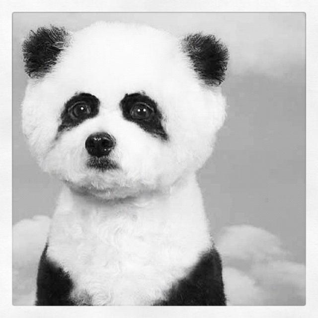 Pin Panda Dog For Sale On Pinterest