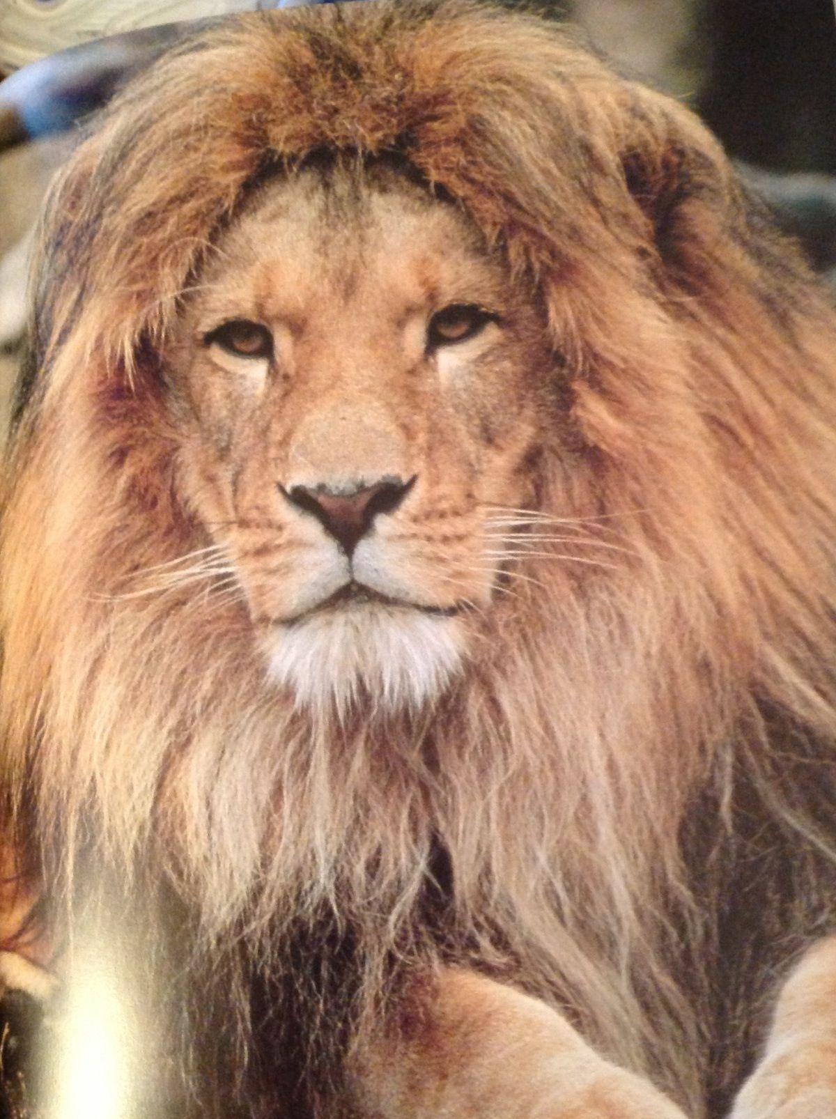 Extinct barbary lion insanity pinterest