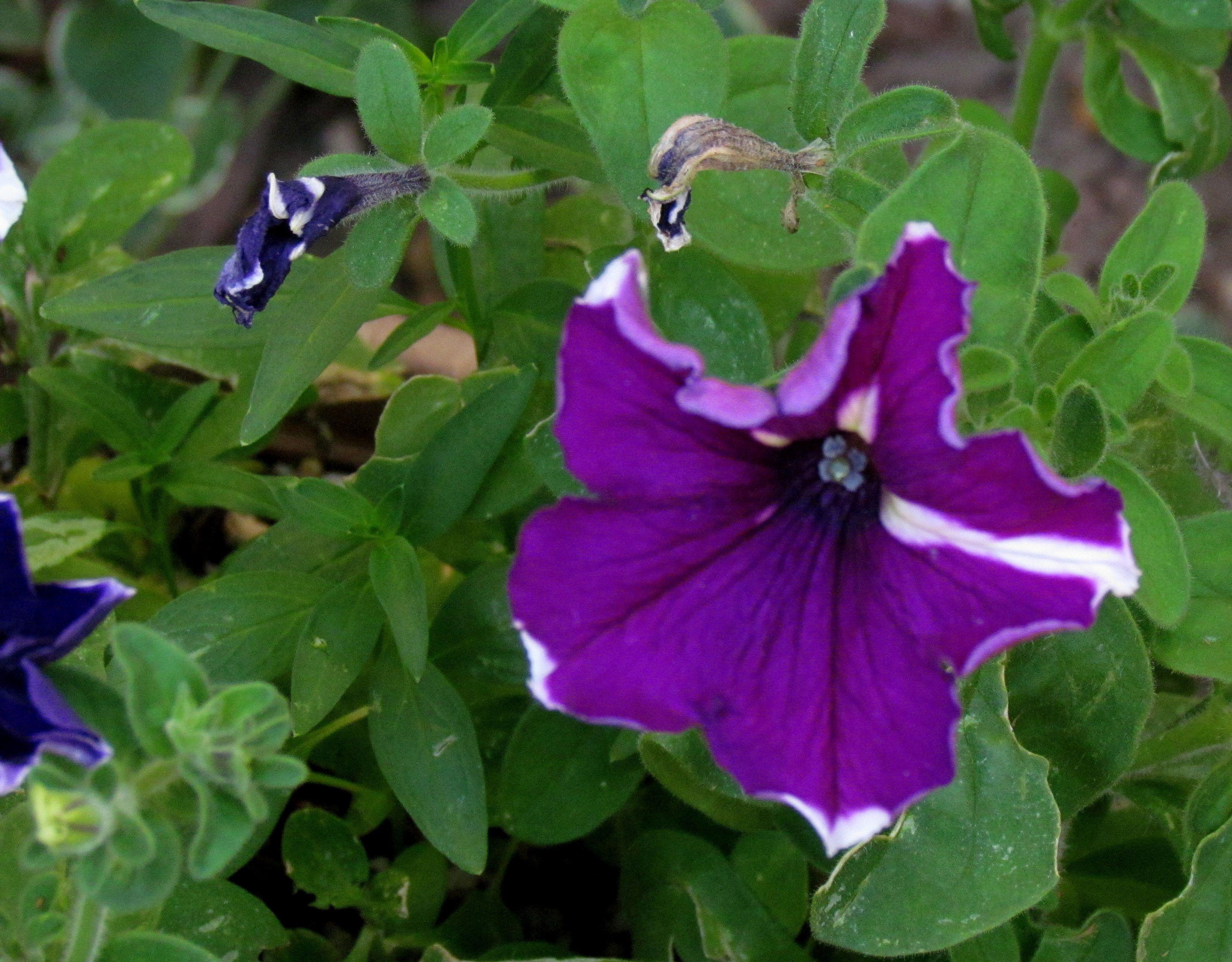 Purple petunia | Gardening/yard stuff | Pinterest