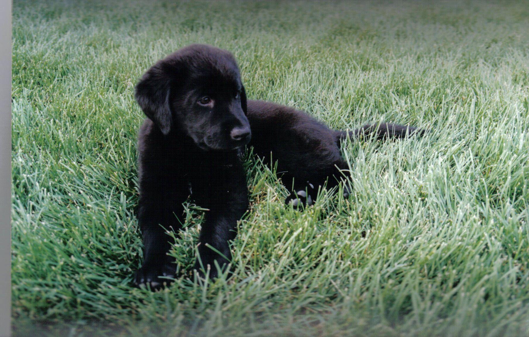 Black Lab Why Do I Smell Wet Dog? :) Pinterest #637B4D