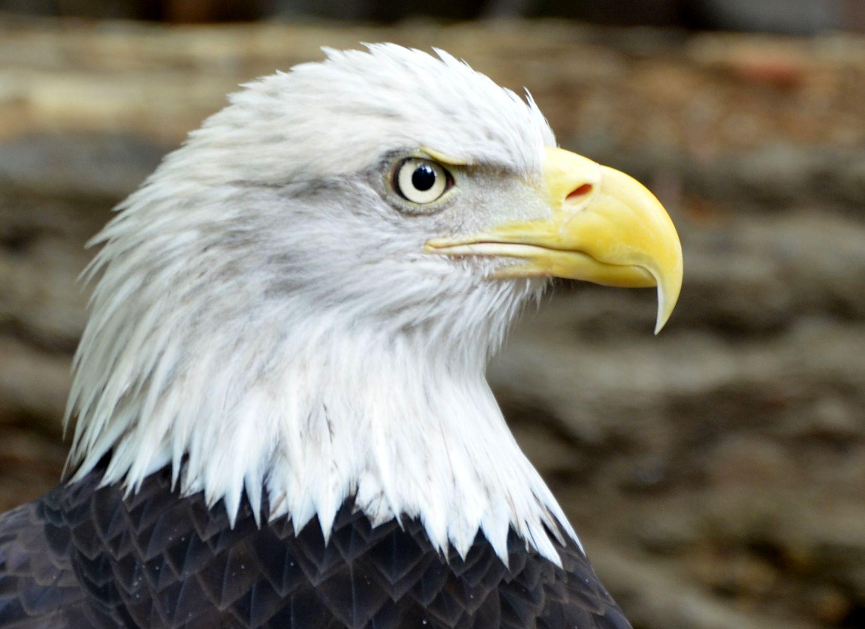 Bald eagle awesome pinterest