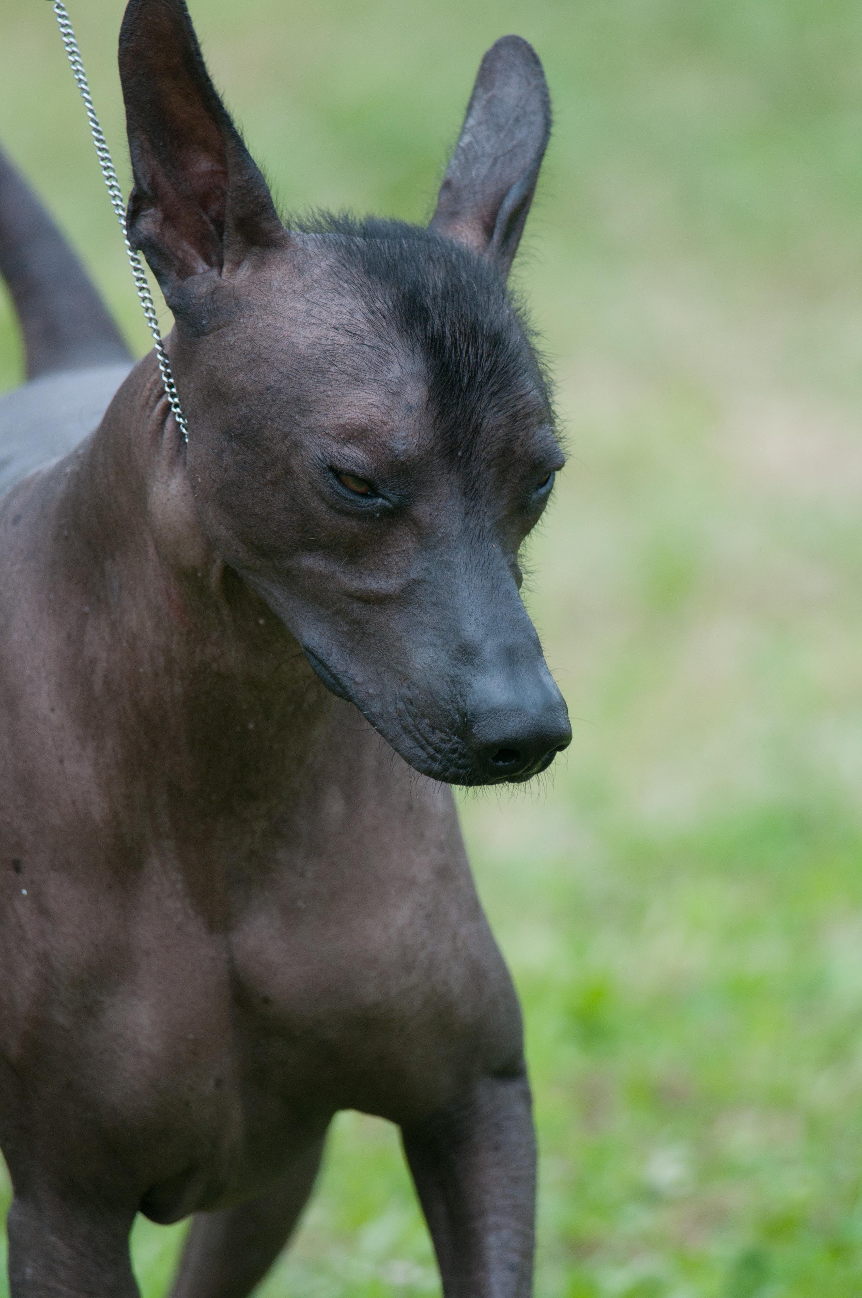 Xoloitzcuintli #Xoloitzcuintli | DOGS...