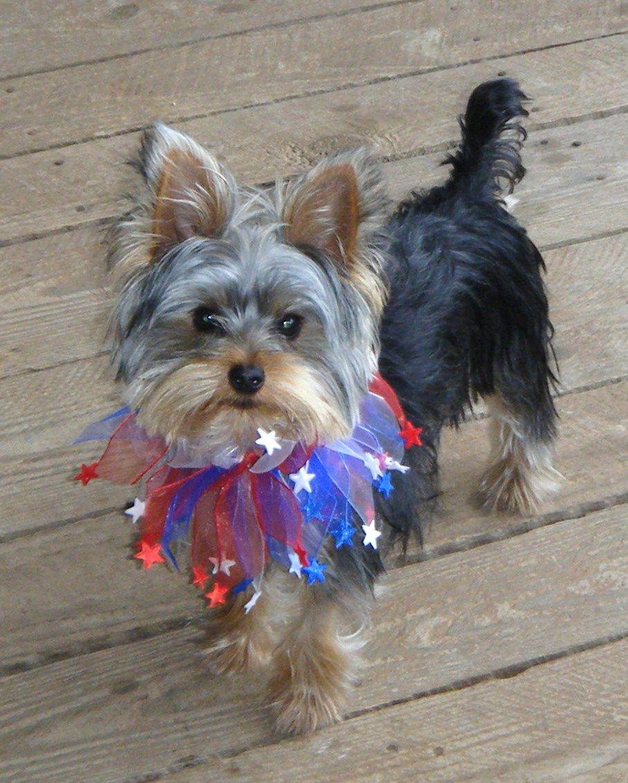 Tucker celebrates the 4th of July!   Yorkies   Pinterest Yorkie