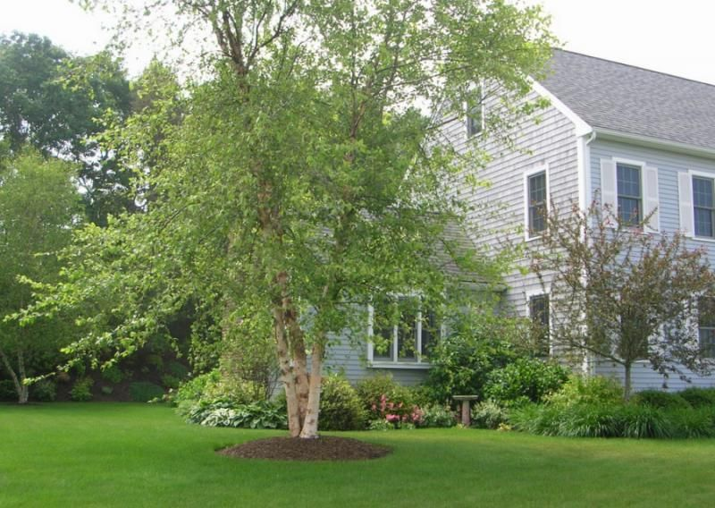 Landscaping With Paper Birch Trees : Paperbark birch landscaping