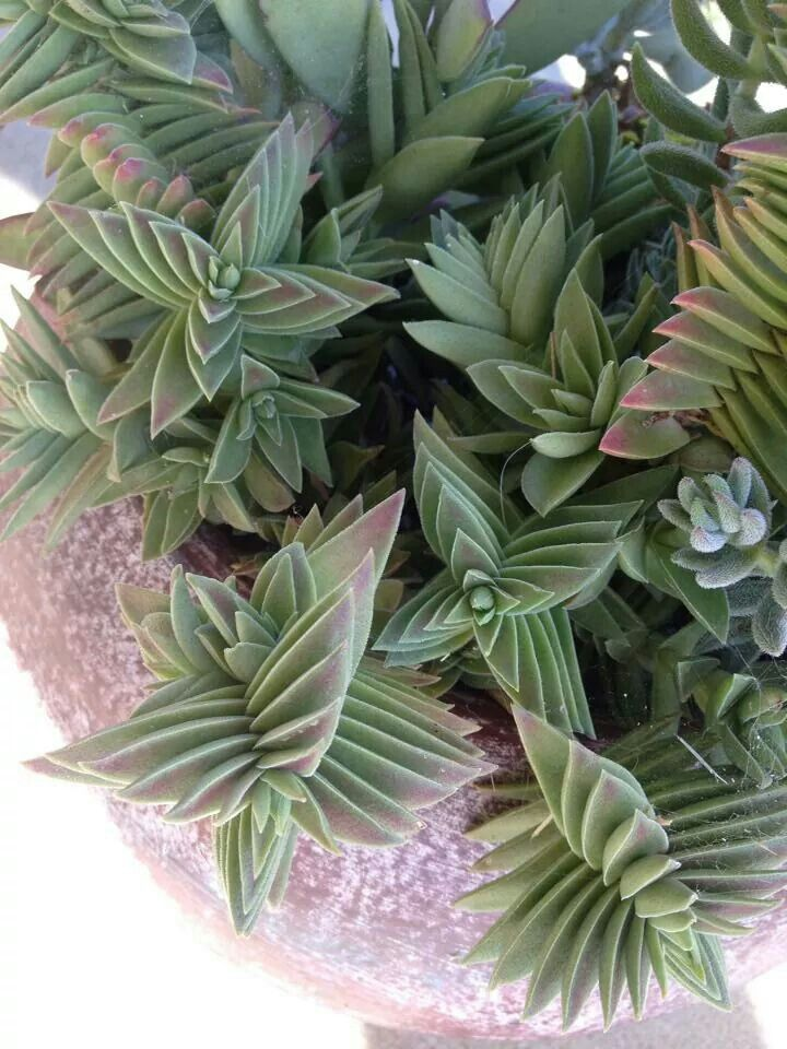 Crassula 39 Buddha 39 S Temple 39 Succulent Plants Pinterest Temples What Kind Of And Its Beautiful