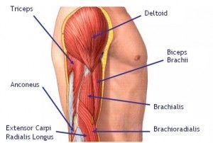 Muscle anatomy arm