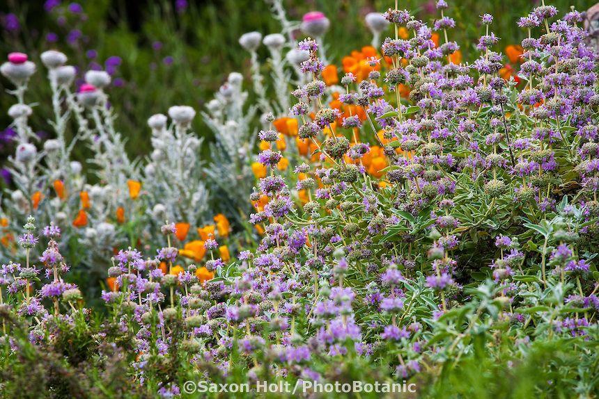 Native California Plants Beautiful Pinterest