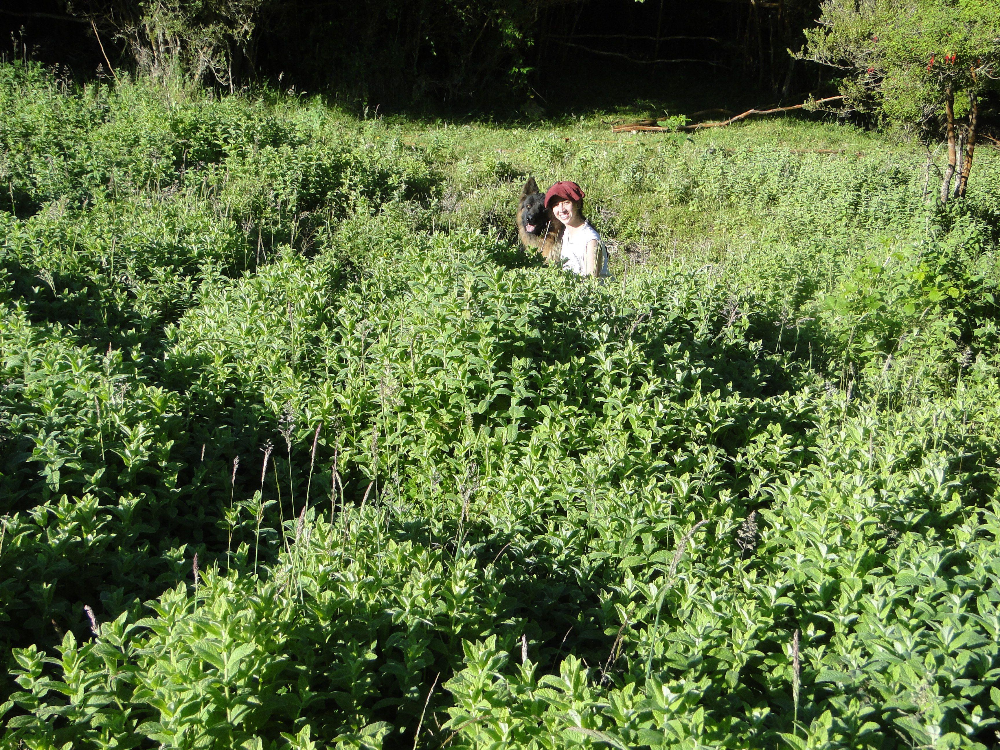 Hierbas medicinales y arom ticas huerto forestal forest for Jardinera plantas aromaticas