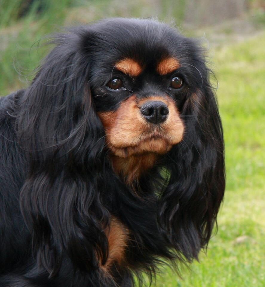 Cavalier King Charles Spaniel Black And Tan