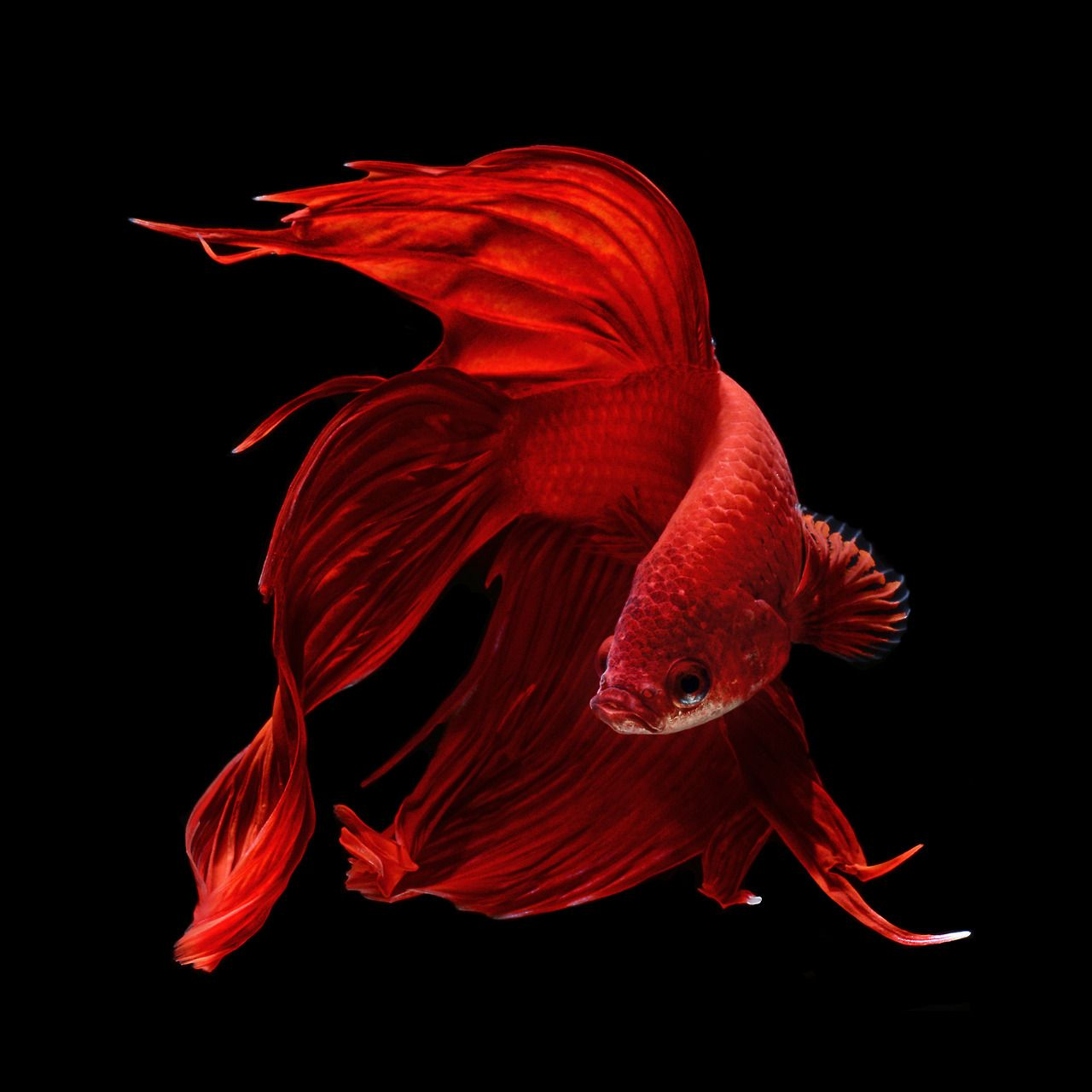 Red betta fish animalz pinterest for Red betta fish