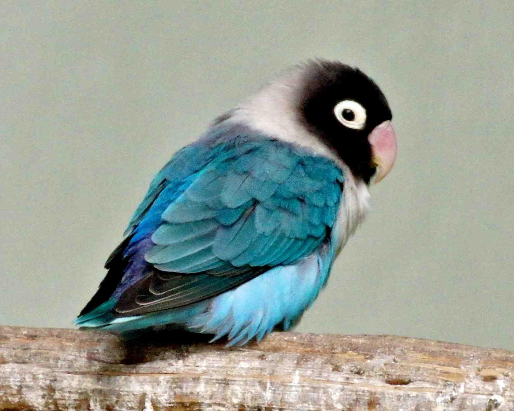 Blue Masked Lovebird Baby