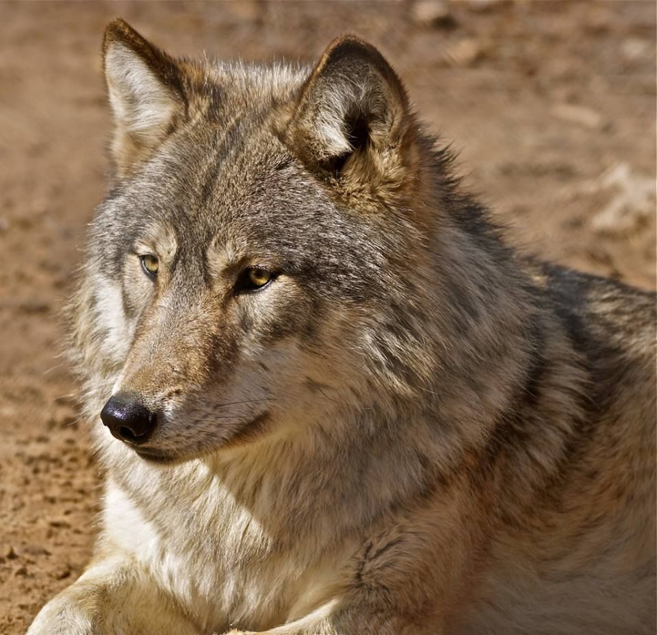 Mexican grey wolf - photo#8