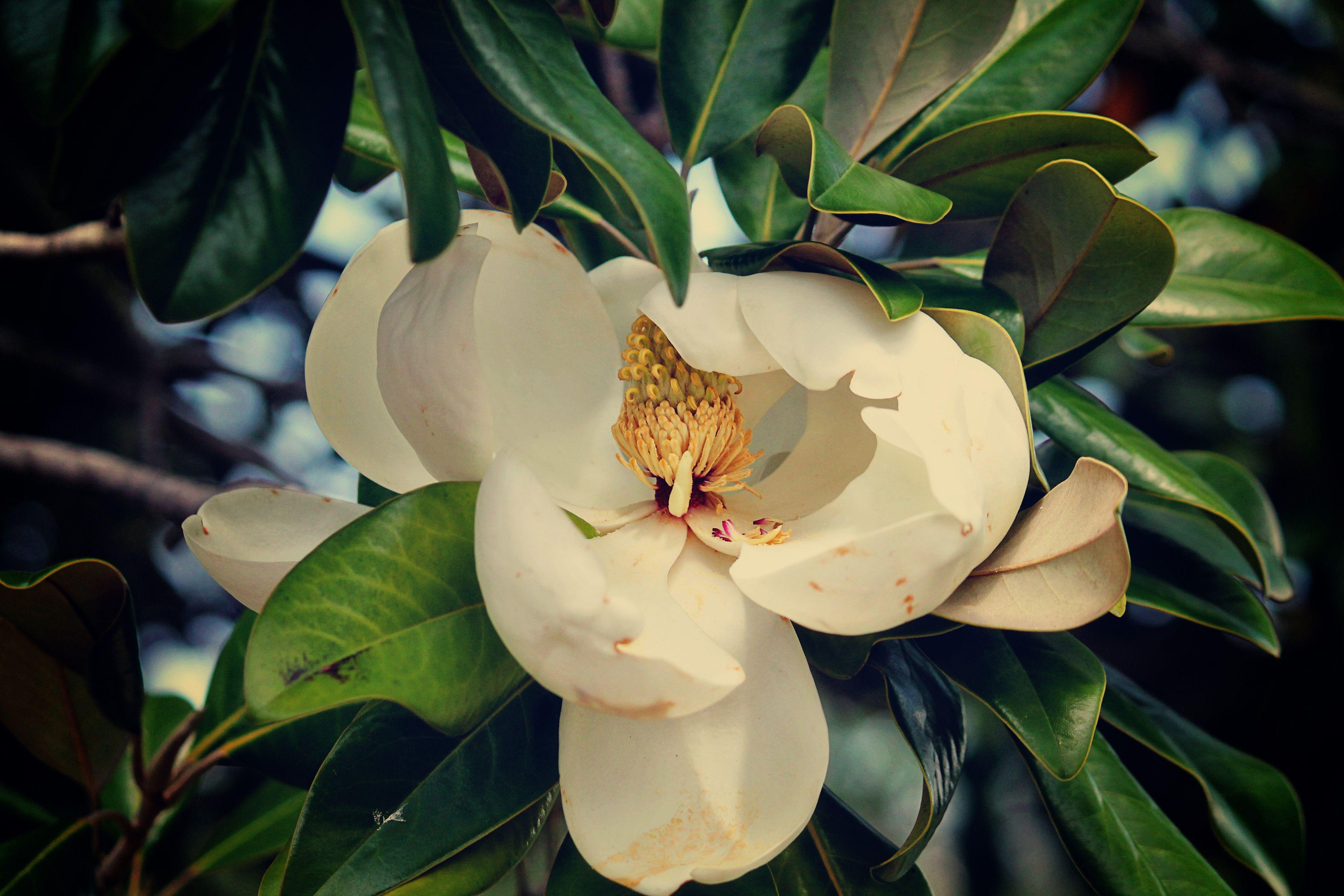 Louisiana State flower Magnolia Louisiana stuff