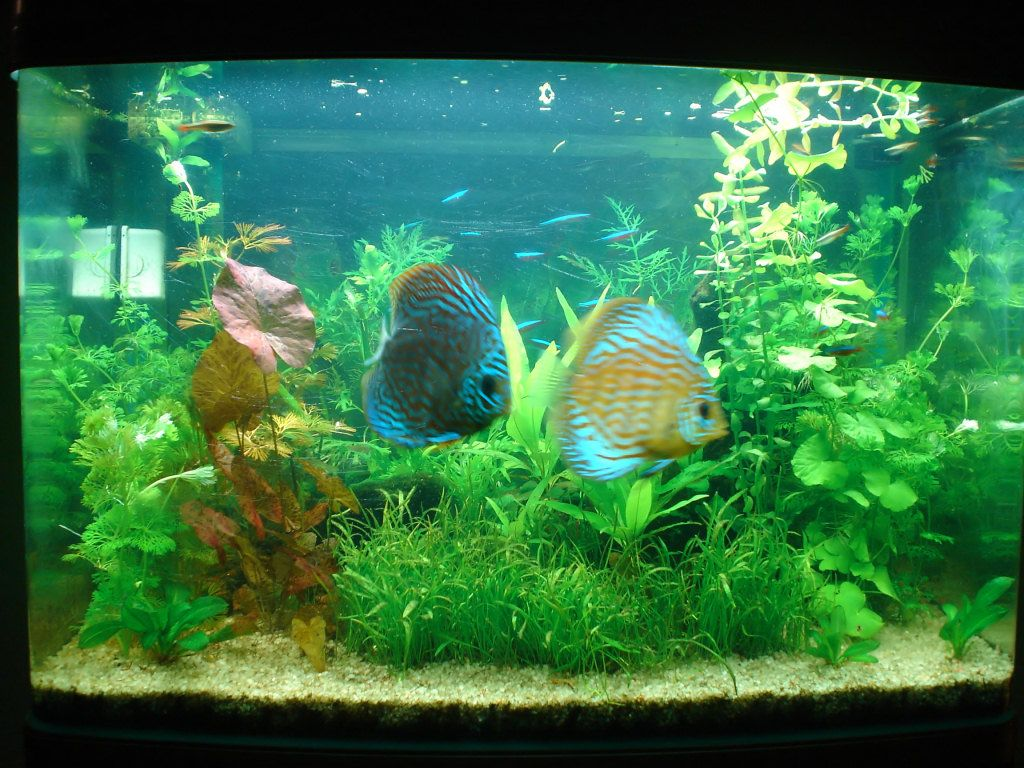 Pretty discus tank dream fish tanks pinterest for Dream of fish tank