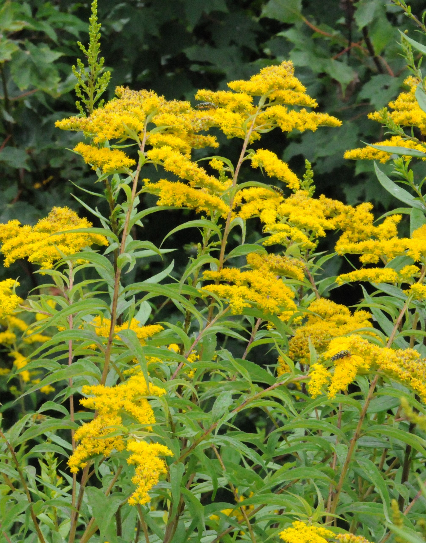 Goldenrod state flower for Kentucky My Virtual Flower Garden