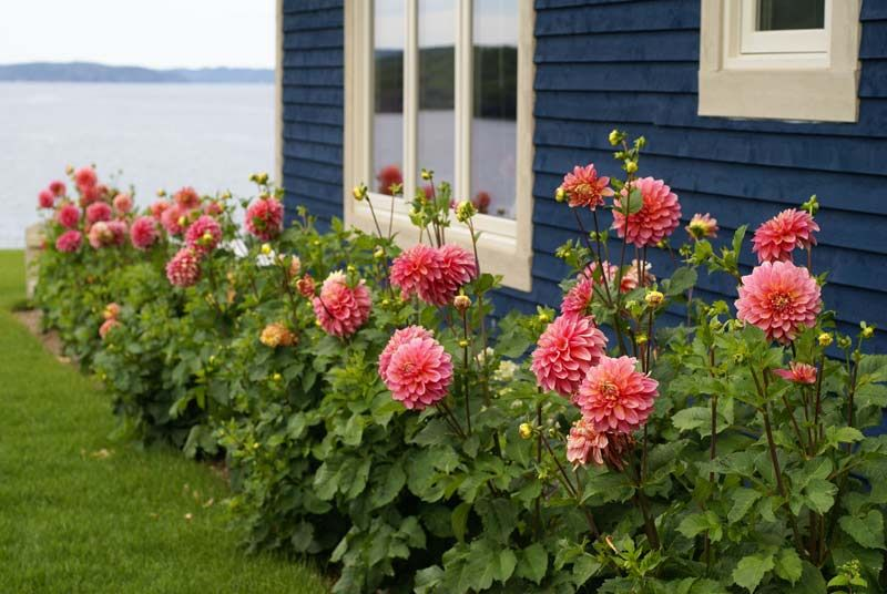 Dahlia flower bed plants i like pinterest for Plants for outdoor garden