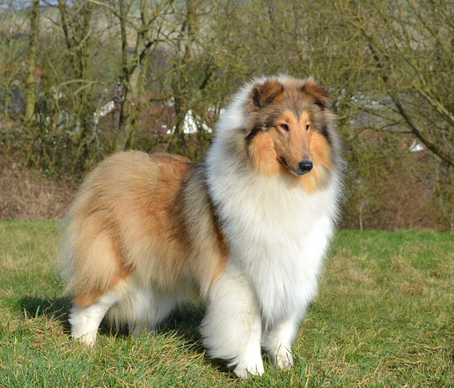 Collie rough raza de perros dog breds pinterest