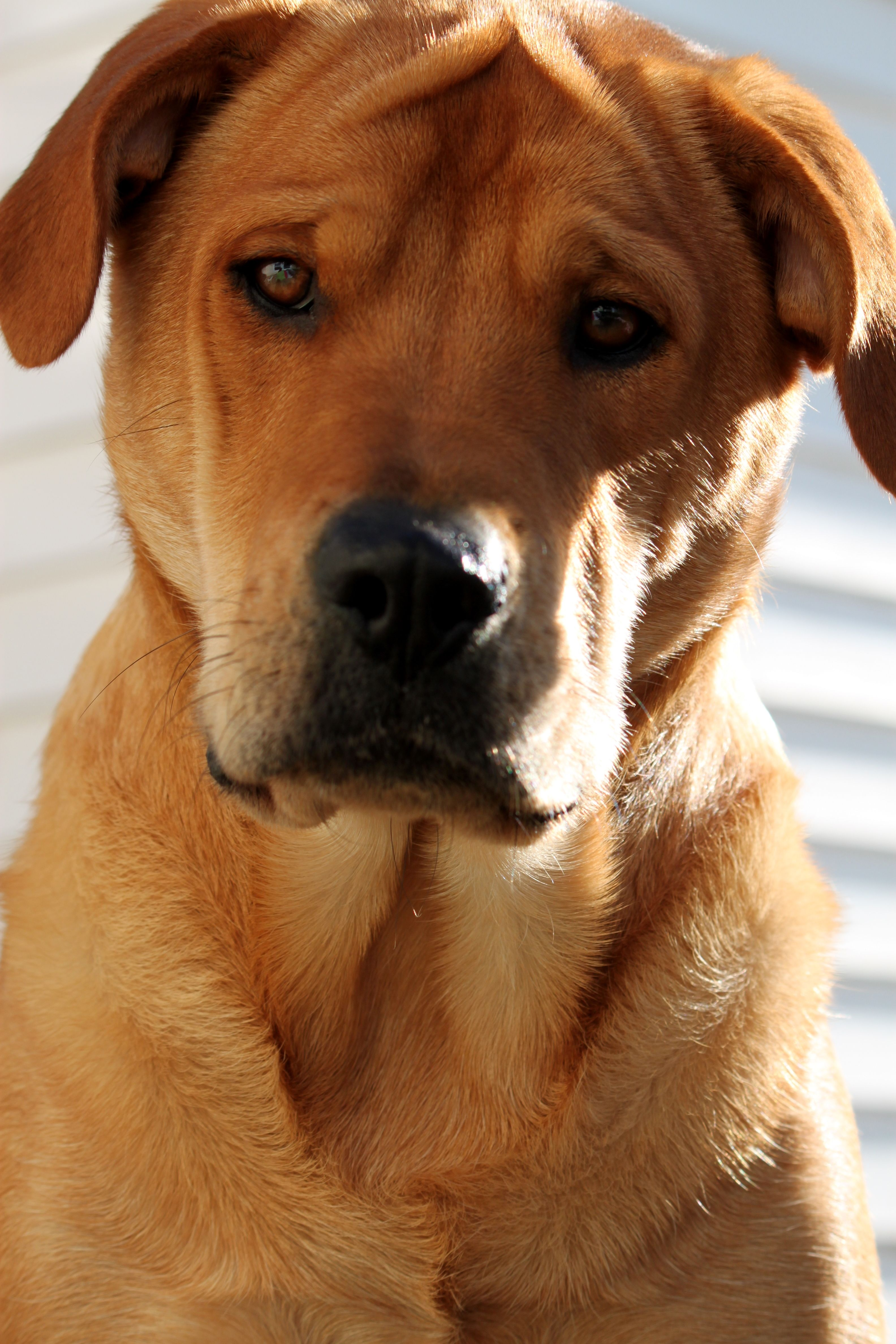 shar pei pitbull mix next puppy dog lover dog breeds picture