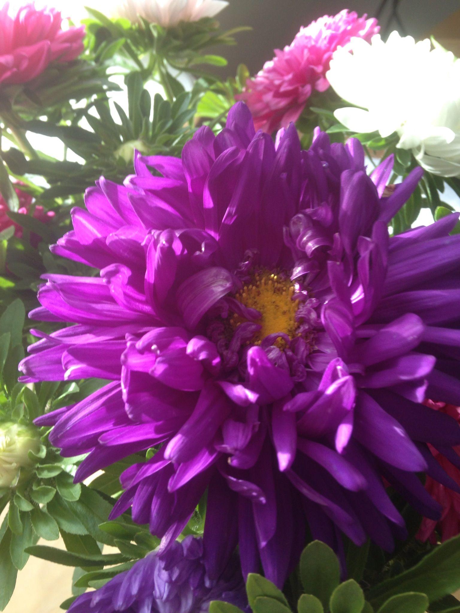 New York aster Flowers