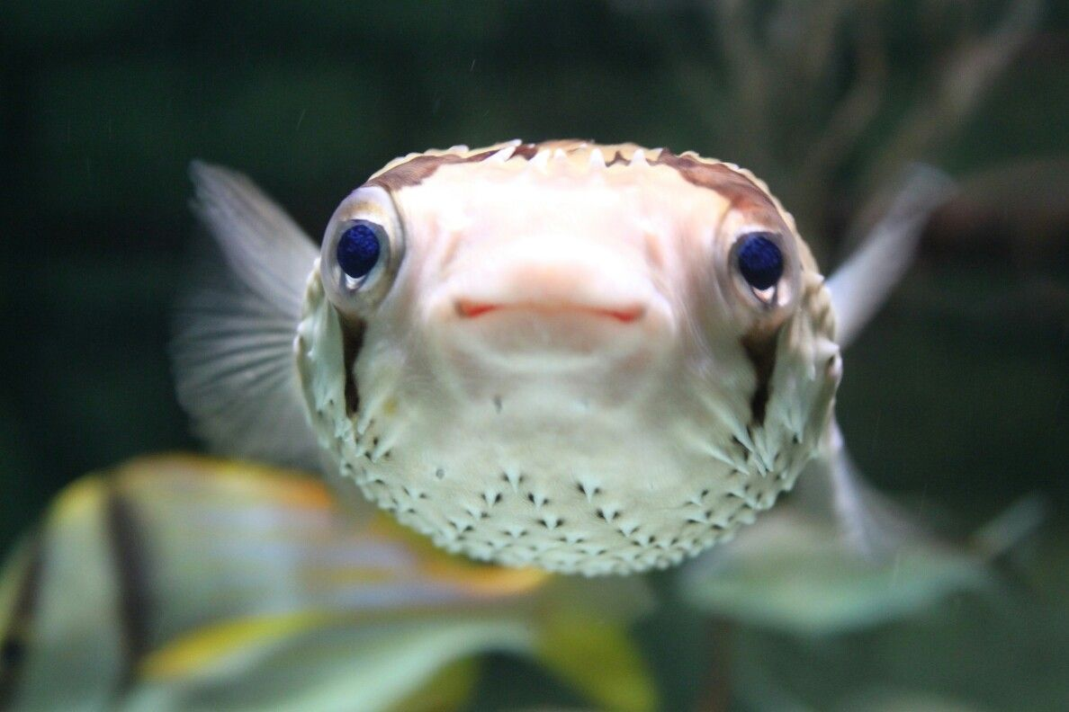 Cute puffer fish aquarist love pinterest for Pictures of puffer fish