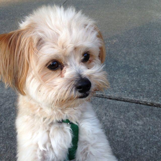 My kiwi. She's a pomeranian poodle mix. | Babes | Pinterest