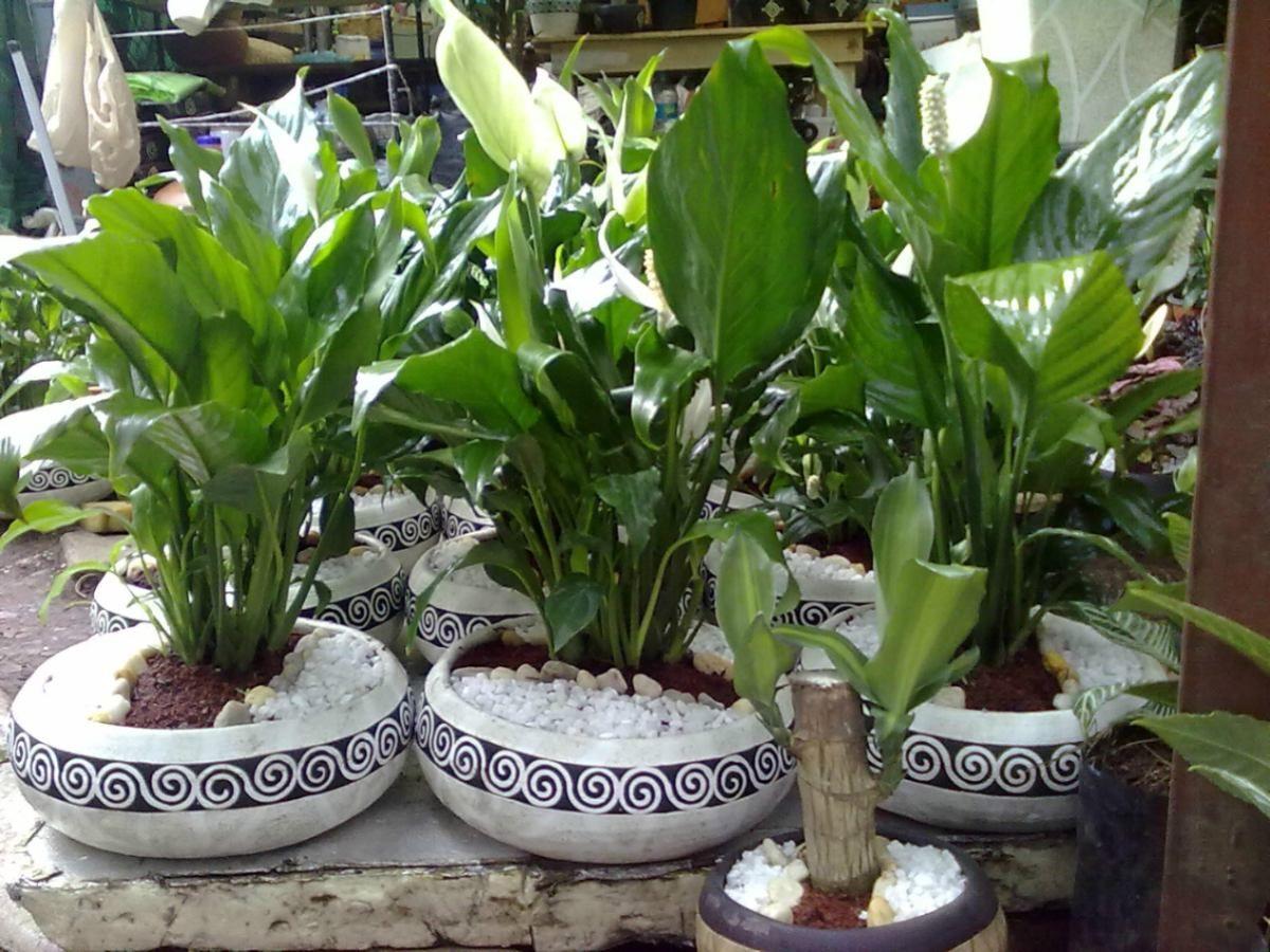 Cuna de moises 1 gardens and flowers pinterest for Plantas para jardin exterior
