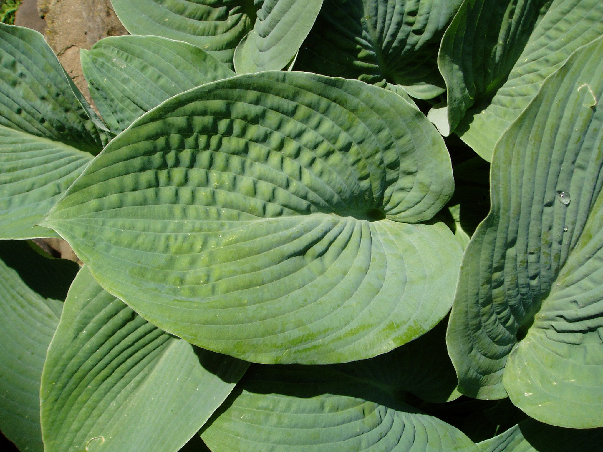 hosta big daddy ideas for my dad 39 s ranch pinterest. Black Bedroom Furniture Sets. Home Design Ideas