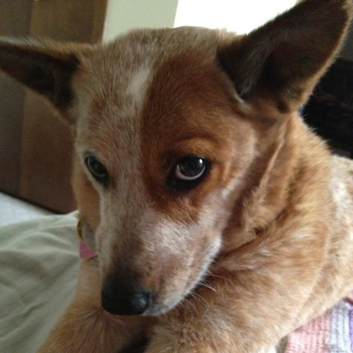 Red Heeler baby | Australian Cattle Dogs/Blue Heeler/Red Heeler/Queen ...