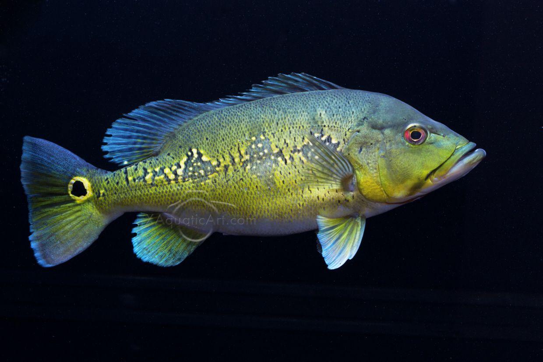 Peacock Bass Bass Pinterest