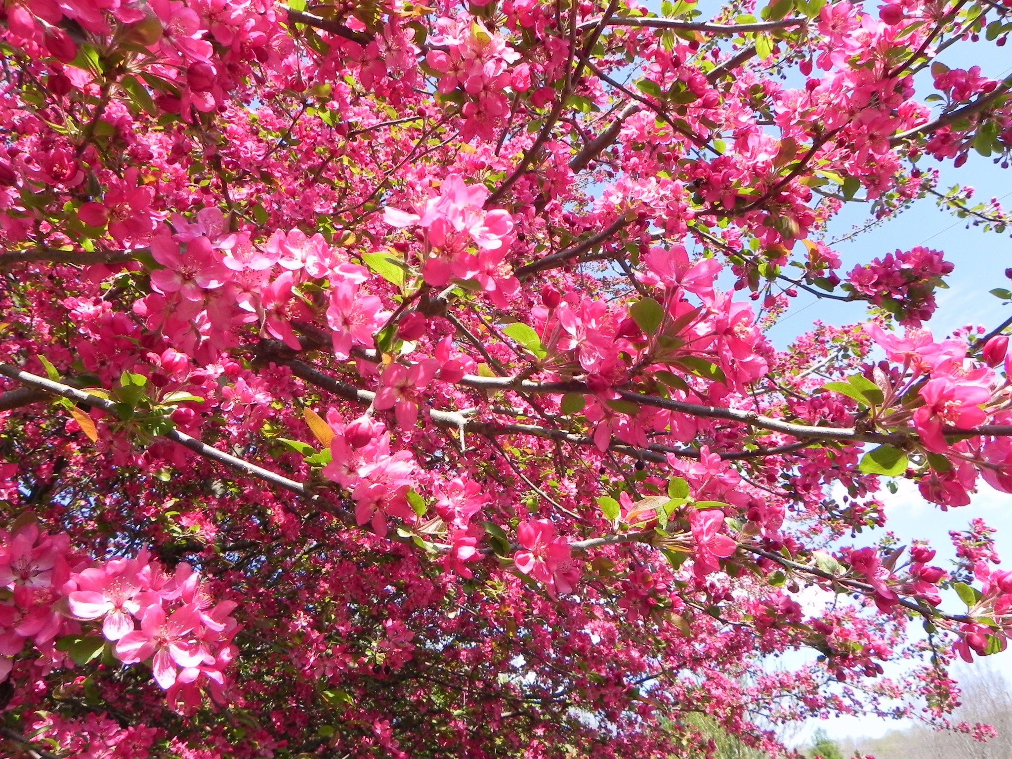 Flowering Crab Tree | For the Home | Pinterest