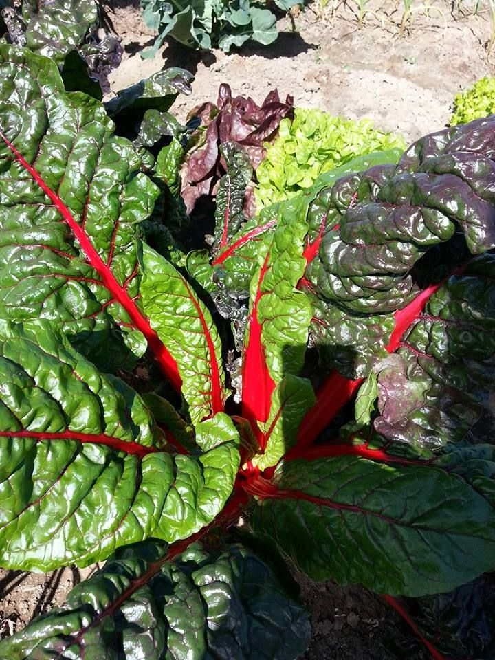 acelga-roja-huertos-ecologicos