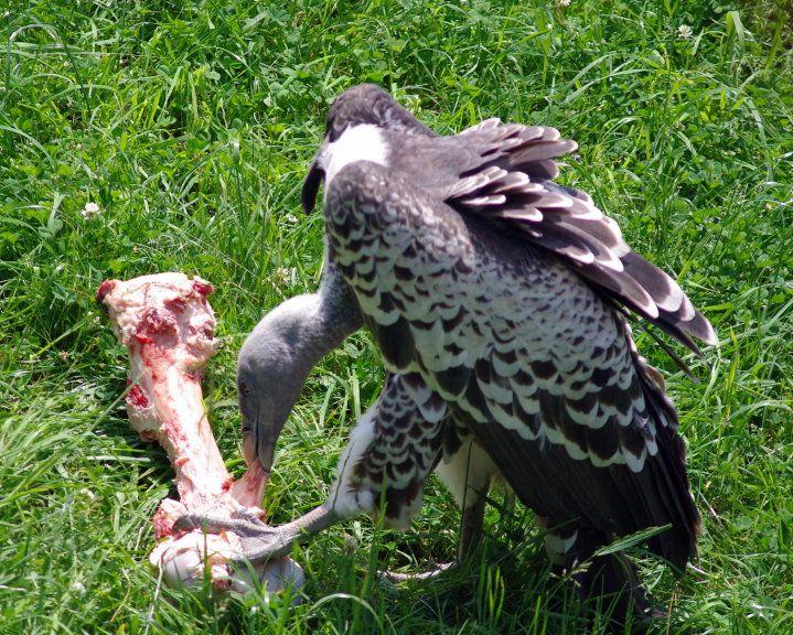 Vultures only eat dead...