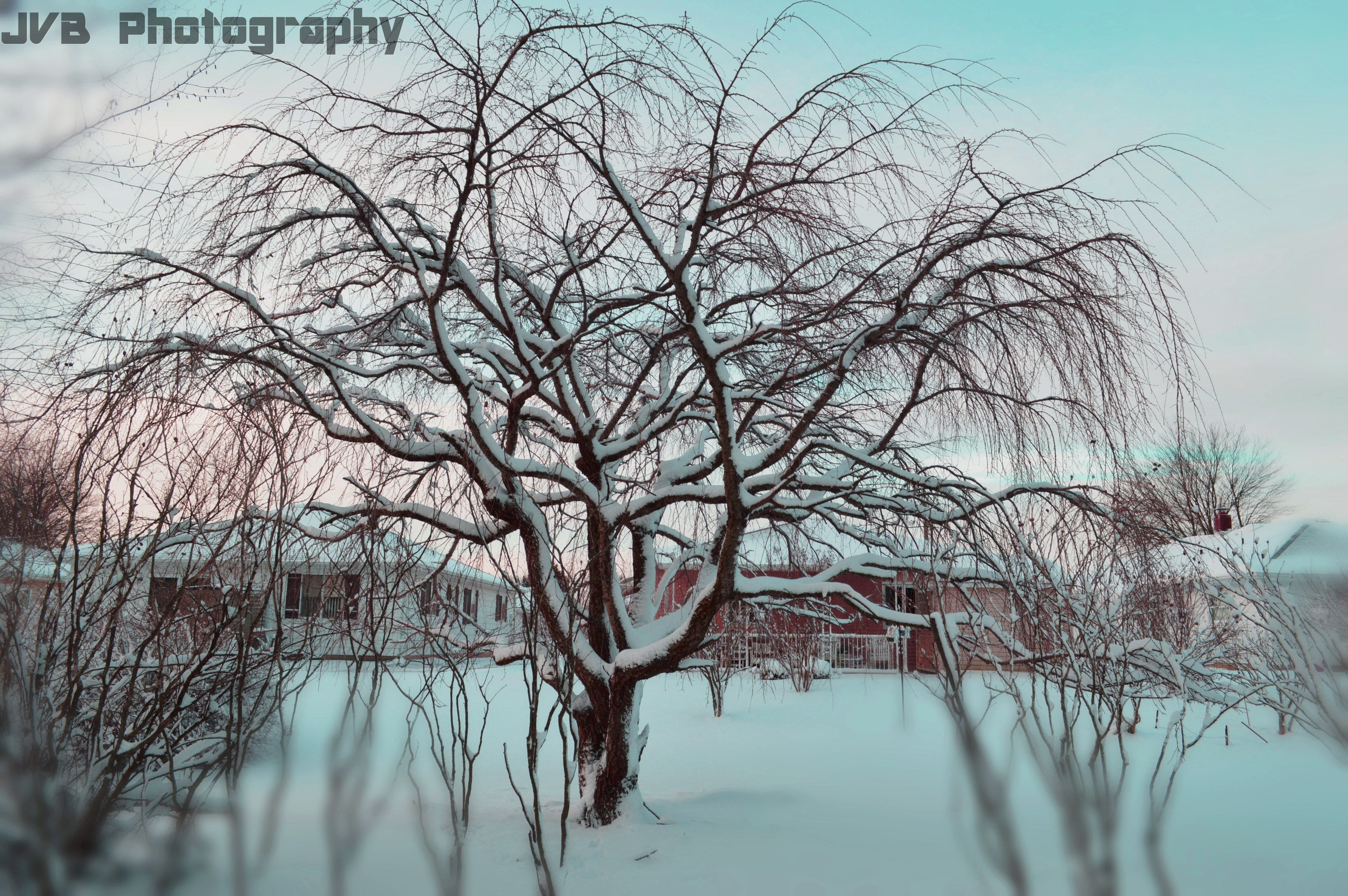 Winter Cherry Blossom Tree   JVB Photography   Pinterest Pictures Trees In Winter Pinterest