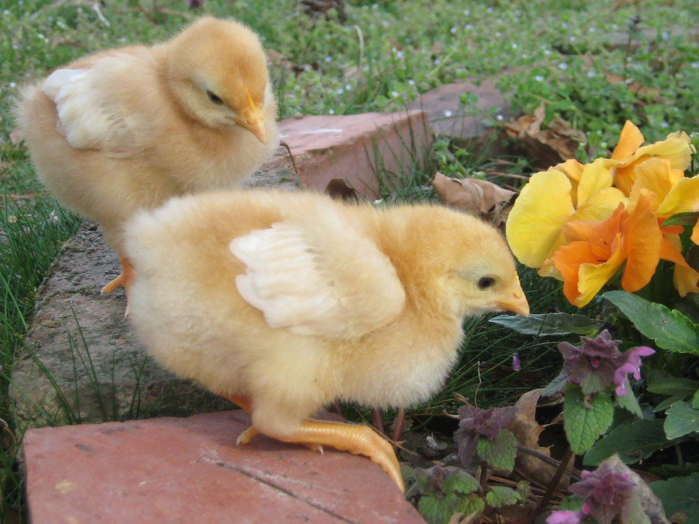 Golden comet chickens 1 week old for the birds pinterest