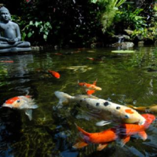 Beauty is a koi pond on pinterest koi ponds koi and for Koi pond media