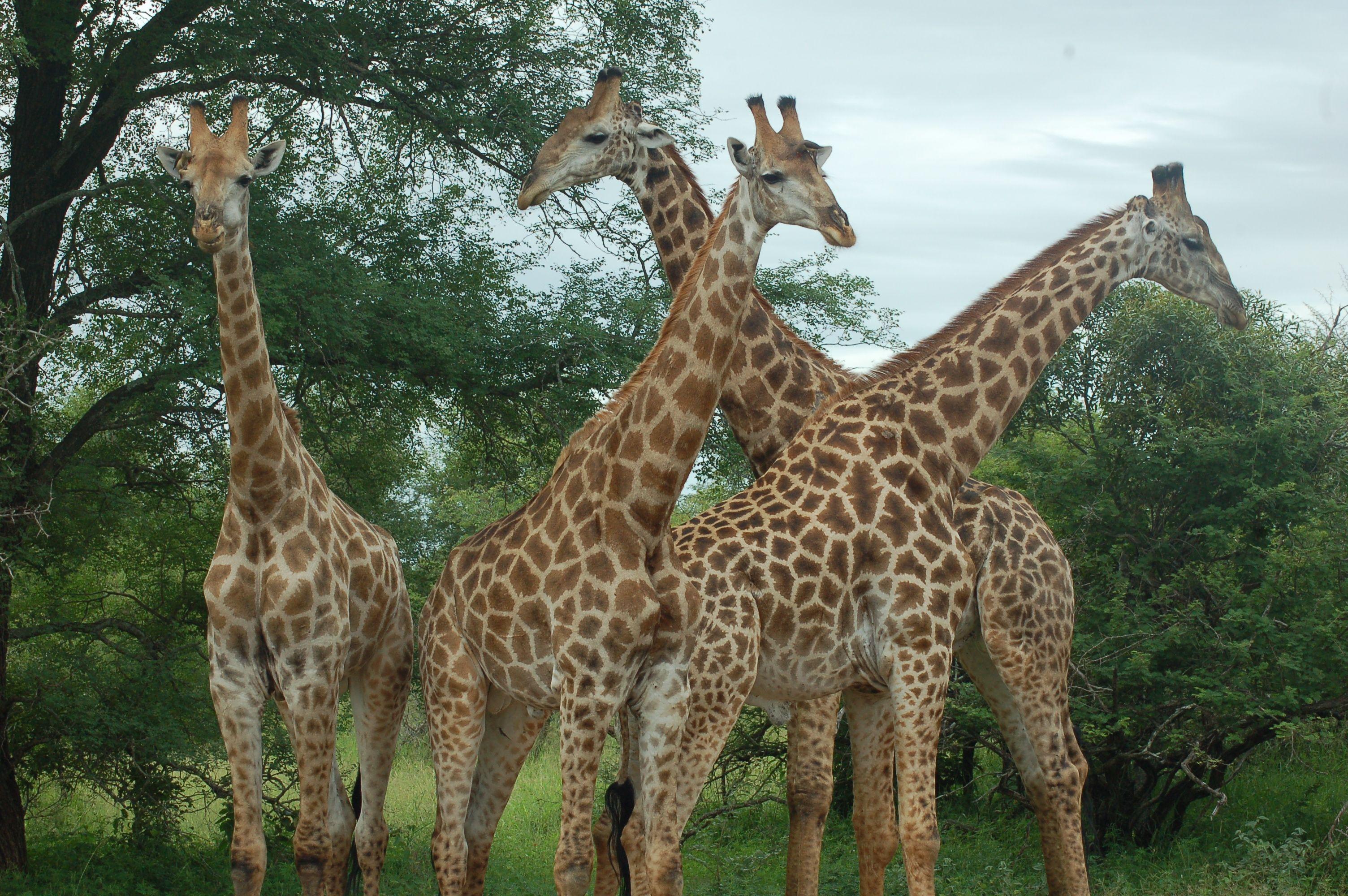 giraffe family giraffe love pinterest