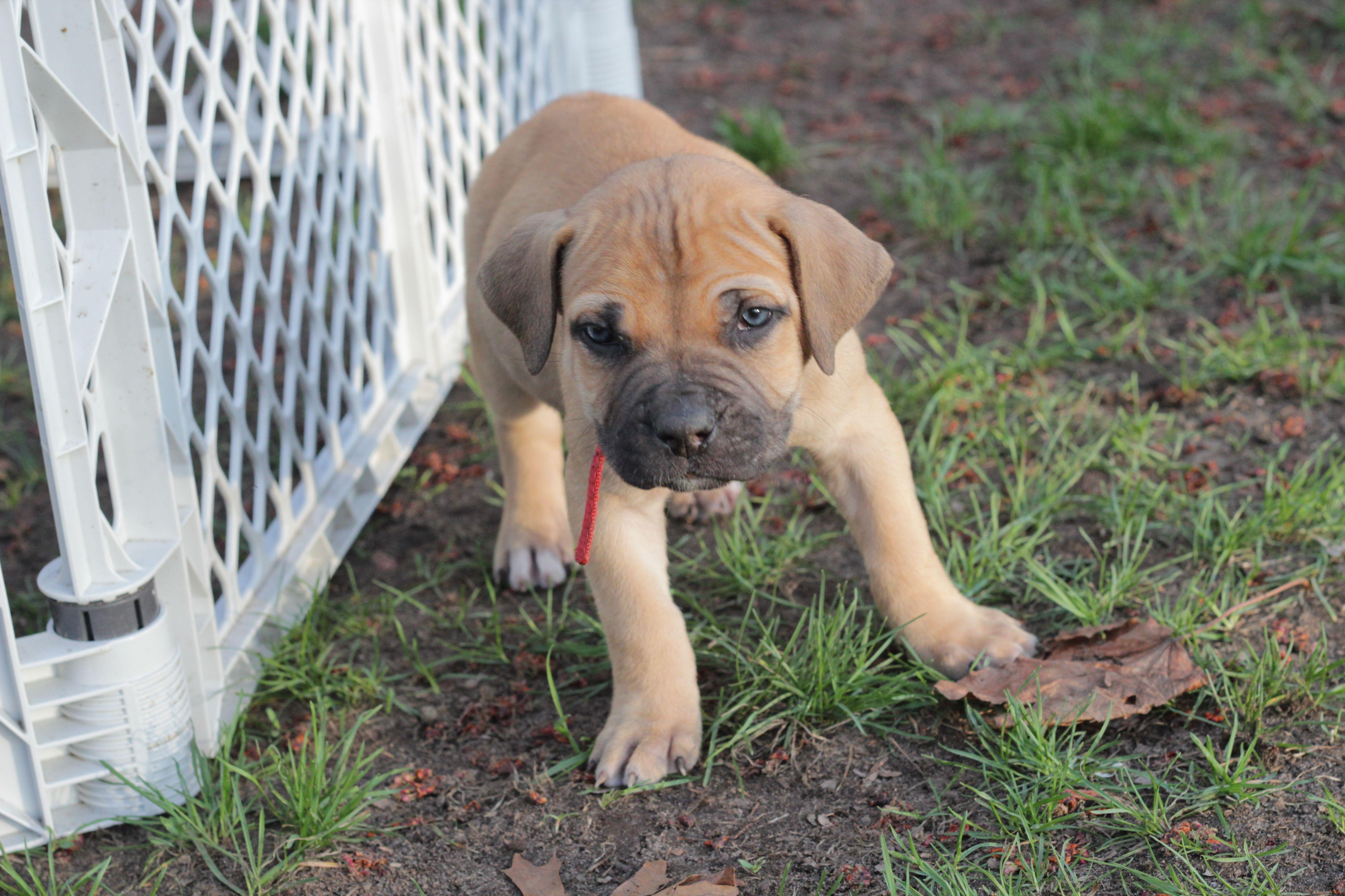 Black Boerboel Puppies For Sale In Gauteng