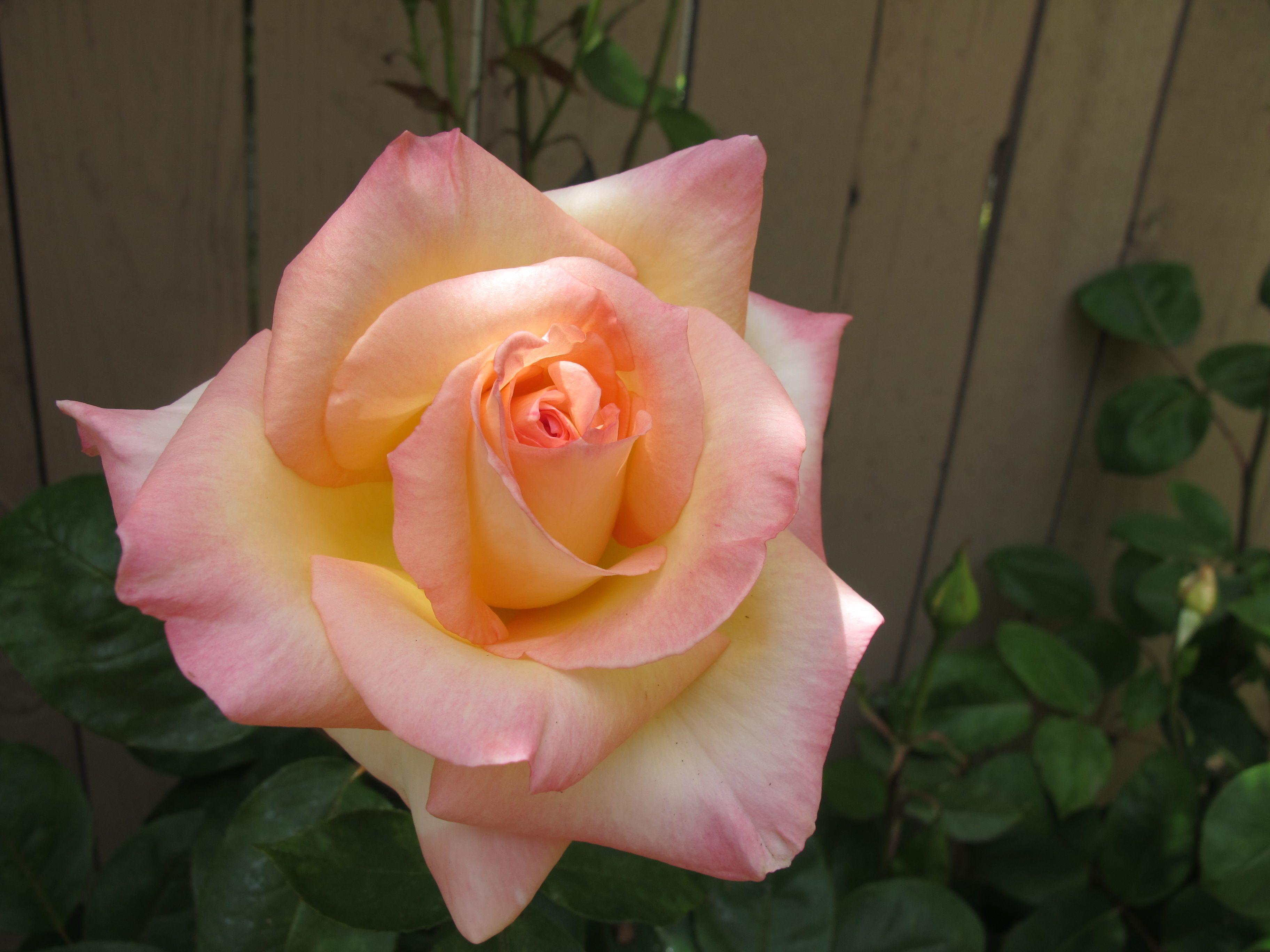 Princess Diana Rose How Lovely Garden Pinterest