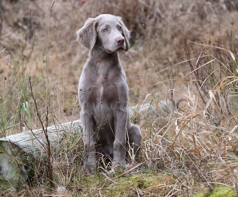Gray weimaraner the image kid has it for Weimaraner coloring pages