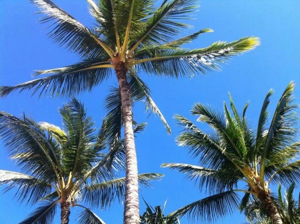 Blue skies & coconut trees in Hawaii.   My Hawaii   Pinterest