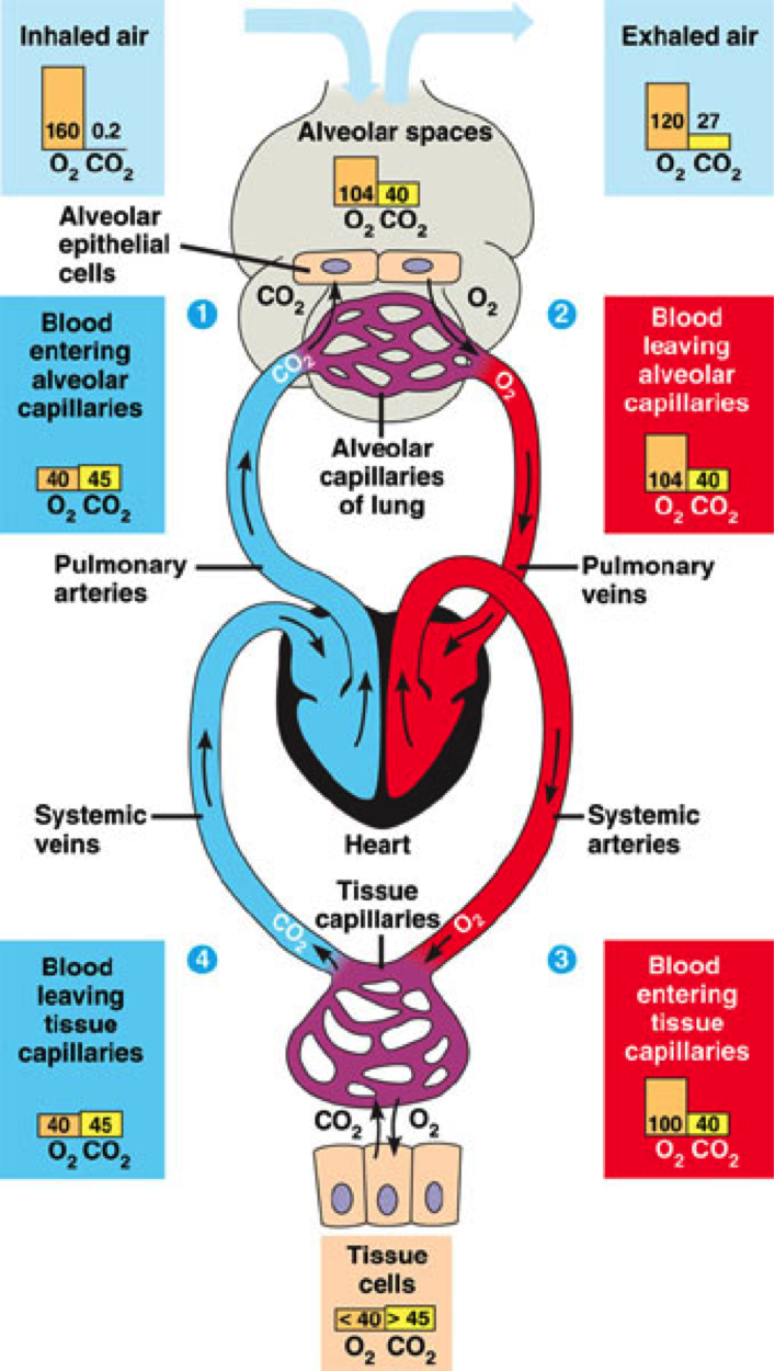 Pco2 po2 of the blood entering the lungs is about 46 40 mmhg the pco2