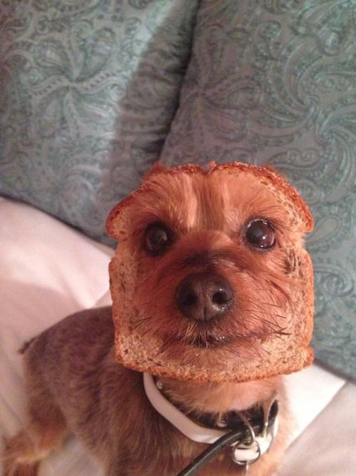dog with bread head