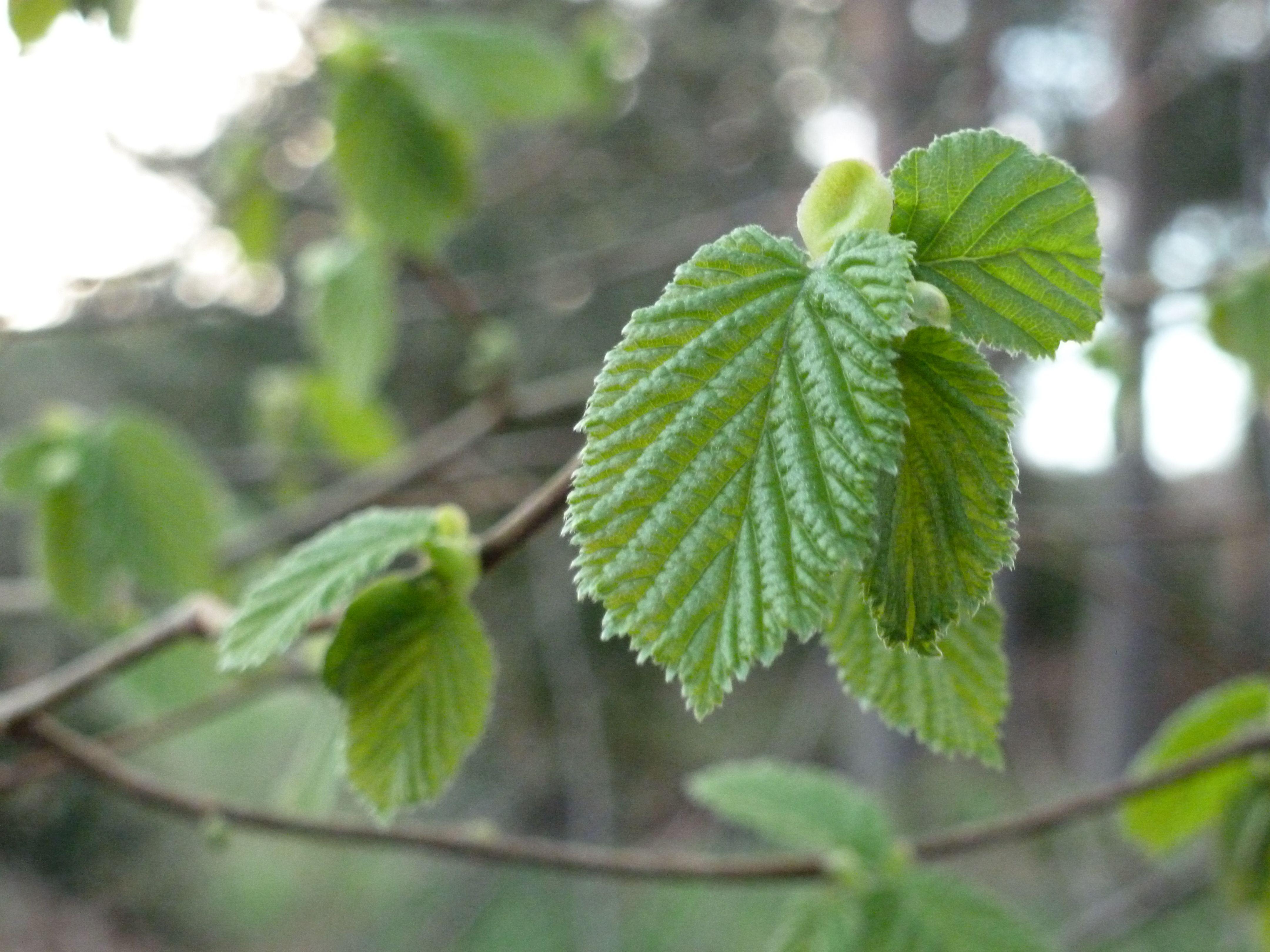 Hazel tree bursting into leaf   Woodlands   Pinterest