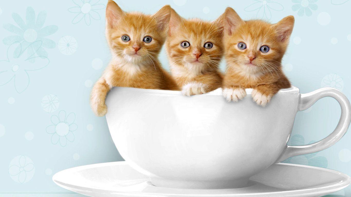 Tea - Cute Kittens in Tea Cup - Cats | Cu Teas - Adorable ...