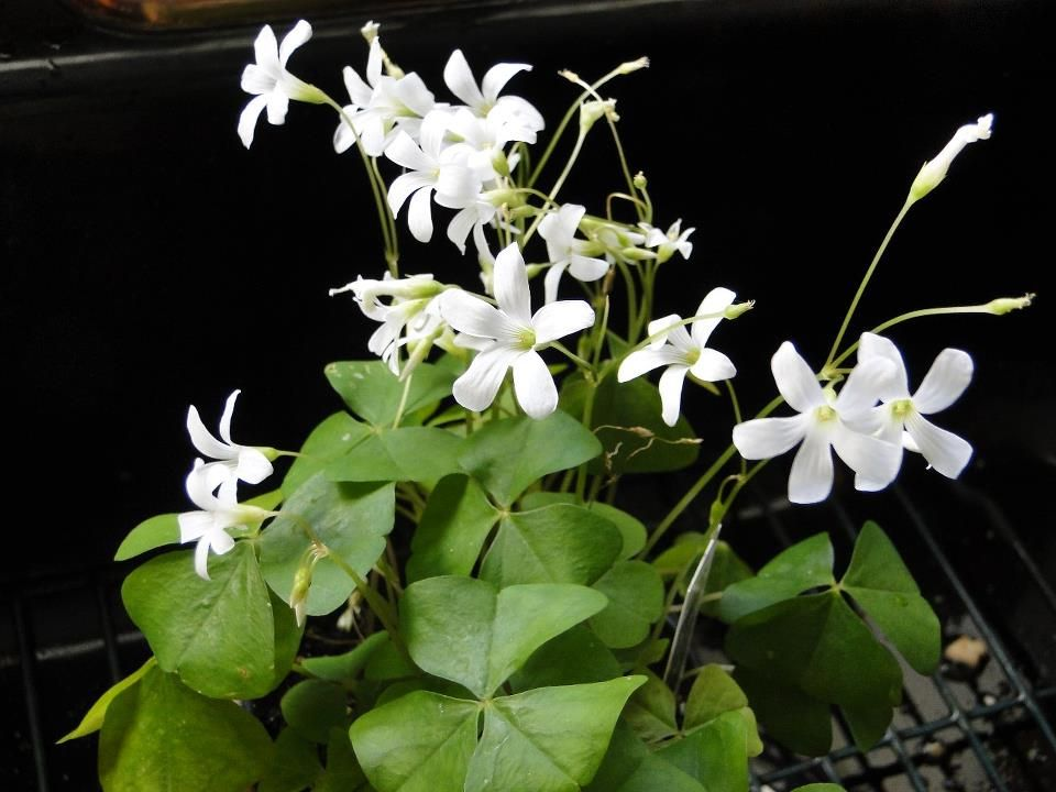 Irish clover plant the image kid has it - Shamrock houseplant ...
